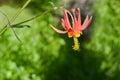 Columbine Flower In California