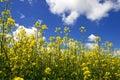 Colza blossom Royalty Free Stock Photo