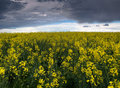 Colza or Canola field Stock Image