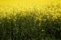 Colza field close up blooming yellow Stock Image