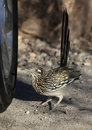Combative roadrunner is ready to take on the competition fiesty fight reflected in chrome wheel Royalty Free Stock Image