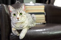 Comfortable Egyptian Mau Cat Royalty Free Stock Photography