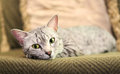 Comfortable Egyptian Mau Cat Royalty Free Stock Photo