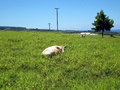 Comfortable White Cow in the Grass Royalty Free Stock Photo