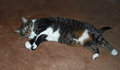 Comfortably resting cat stretches out on the carpet for a comfortable rest Stock Photography