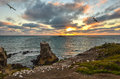 Coming home. Sunset over Gannet colony at Muriwai Beach, New Zealand Royalty Free Stock Photo