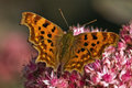 Comma butterfly Royalty Free Stock Photo