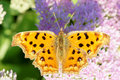 Comma butterfly a on pink flowers scientific name polygonia caureum Royalty Free Stock Photo