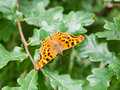 Comma butterfly Polygonia c-album Nymphalidae Royalty Free Stock Photo
