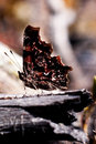 Comma butterfly, Polygonia c-album, underwing Stock Photos