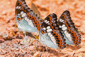 Commander butterflies close up of moduza procris milonia butterfly puddling on the ground Royalty Free Stock Image
