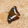 Commander butterfly close up of moduza procris milonia puddling on the ground Stock Photography