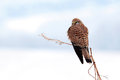 Commom kestrel on a tree reci natural reserve Royalty Free Stock Images