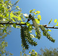 Common aspen or trembling poplar Stock Photos