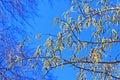 Common aspen or trembling poplar populus tremula wild trees of siberia during flowering ordinary latin name Royalty Free Stock Photos