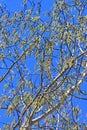 Common aspen or trembling poplar populus tremula wild trees of siberia during flowering ordinary latin name Royalty Free Stock Images