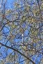 Common aspen or trembling poplar populus tremula wild trees of siberia during flowering ordinary latin name Stock Photos