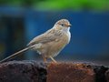 Common babbler perched on breeks is member of family of birds and very member of it it is very noisy and social bird Royalty Free Stock Photos