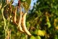 Common beans Royalty Free Stock Photos