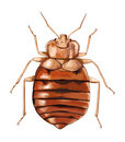 Common Bedbug. Vector artwork. Stock Photos