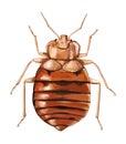 Común bug