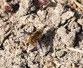 Common bee fly or dark bordered resting on ground Royalty Free Stock Photos