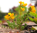 Common Bird's-foot-trefoil Royalty Free Stock Photo