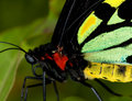 Common Birdwing Butterfly Royalty Free Stock Photos