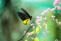 Common birdwing butterfly on pink flower close up feeding coral vine while fluttering its wings Stock Image
