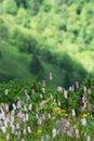 Common bistort (Persicaria bistorta) flowering