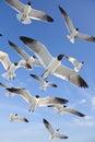 Common Black Headed Sea Gulls ...