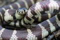 A common, black and white california kingsnake rea Stock Photo