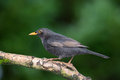 Common blackbird Stock Photo