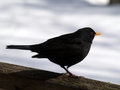 Common blackbird male sat wooden fence Royalty Free Stock Photos