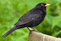 Common Blackbird (Turdus merula) Royalty Free Stock Image