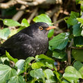 Common blackbird - Turdus merula Royalty Free Stock Photo
