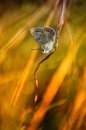 Common blue butterfly sitting on dry leaf Stock Photography