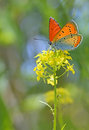 Common Blue butterfly on a yellow flower Royalty Free Stock Photo