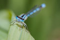 Common blue damselfly with very bright colors Stock Photo