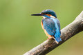 Common Blue Kingfisher Bird Royalty Free Stock Photo