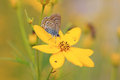 Common blue polyommatus icarus on a oxeye flower with closed wings Stock Photo