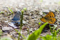 The common blue polyommatus icarus is a small butterfly in family lycaenidae widespread over much of palaearctic and Royalty Free Stock Image