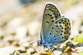 The common blue polyommatus icarus is a small butterfly in family lycaenidae widespread over much of palaearctic and Royalty Free Stock Photos