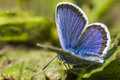 The common blue polyommatus icarus is a small butterfly in family lycaenidae widespread over much of palaearctic and Royalty Free Stock Photo