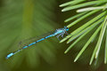 Common blue-tailed damselfly Stock Photo