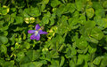 Common blue violet viola sororia a n green background blooming in the month of april Stock Photography