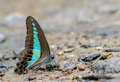 Common Bluebottle Butterfly eating minerals close up Royalty Free Stock Photo