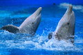 Common bottlenose dolphin Stock Photo