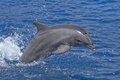 Common bottlenose dolphin tursiops truncates Stock Photo