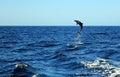 Common Bottlenose Dolphin Royalty Free Stock Photo